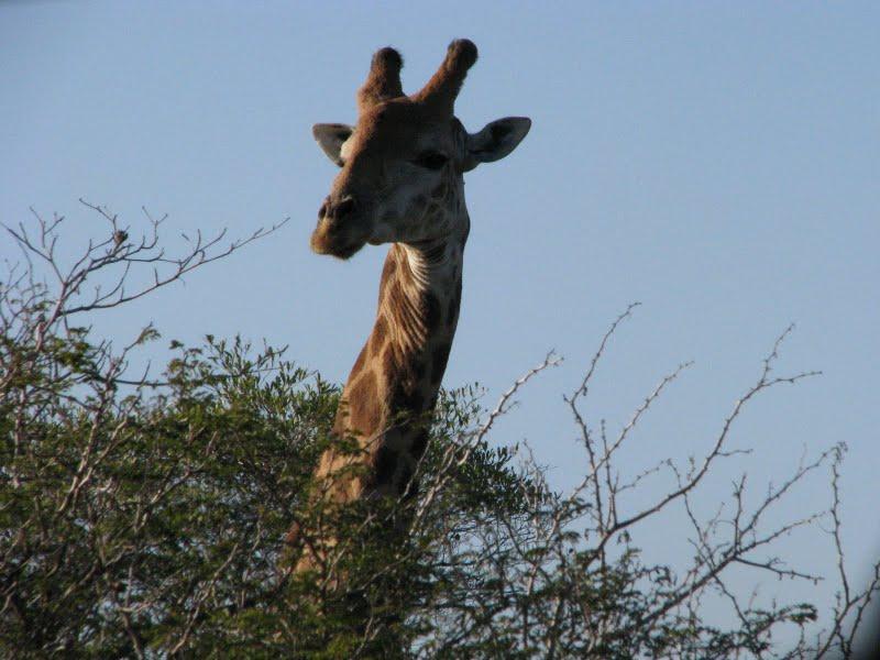 Giraffes in Love Drawing Everyone Loves Giraffe