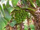 nov-16-18-2009-durban-mickelsens-bananas.JPG