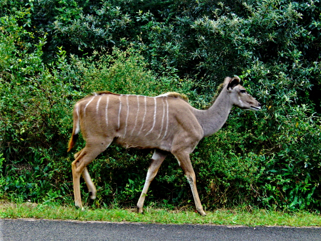 28-june-2010-st-lucia-game-drive-kudu-2.JPG