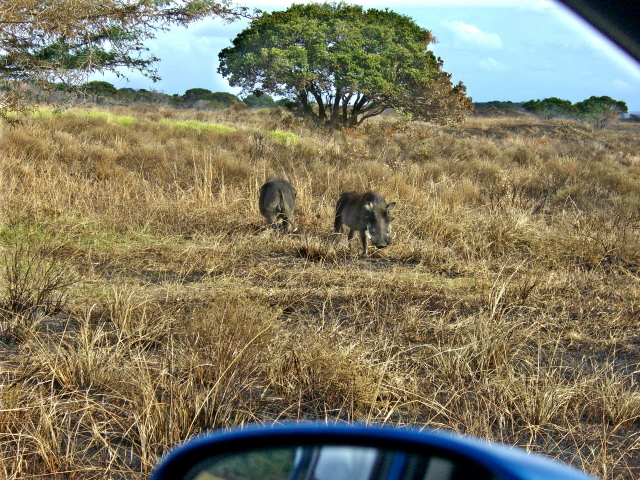 28-june-2010-st-lucia-game-drive-warthogs.JPG