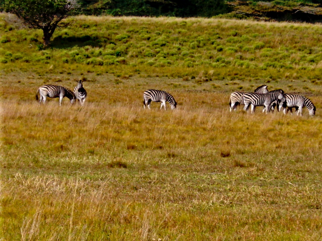 28-june-2010-st-lucia-game-drive-zebras.JPG