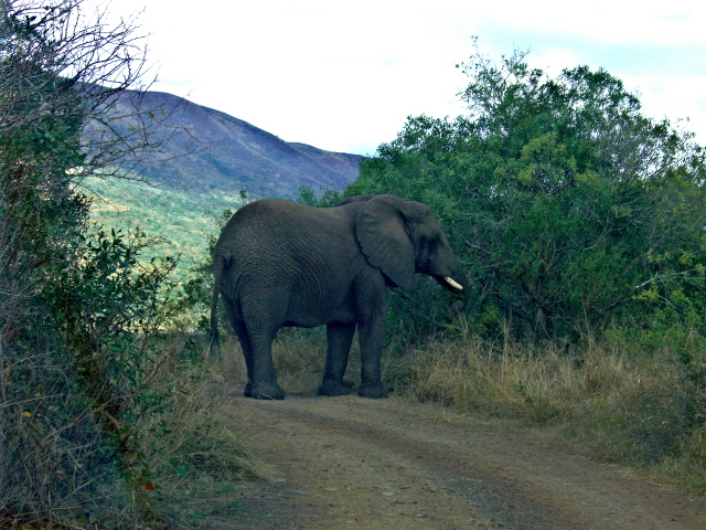 02-july-game-drive-elephant-in-middle-of-road-side-view.JPG
