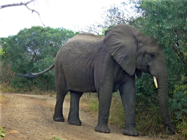 02-july-game-drive-elephants-big-one-blocking-road.JPG
