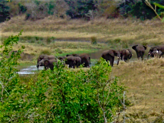 02-july-game-drive-elephants-herd-by-river.JPG