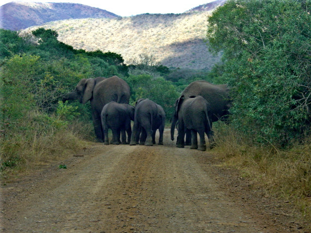 02-july-game-drive-elephants-on-road-rear-view-with-little-ones.JPG