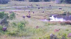 Nyalas - Kudus large herd