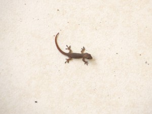 Feb 2014 - A really Small Lizard Close up