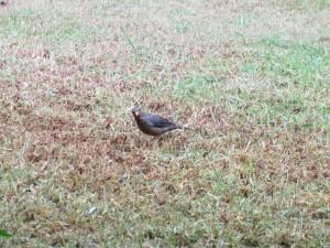 Feb 2014 - Birds - Magpie