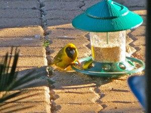 1 Aug14 - Yellow Bird and feeder