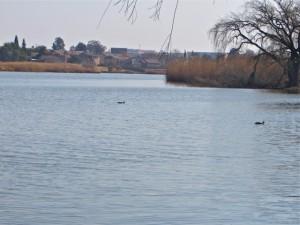 11Aug14 - Pinhead ducks