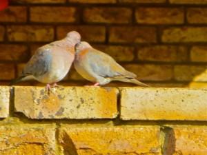 16Aug14 - 2 doves