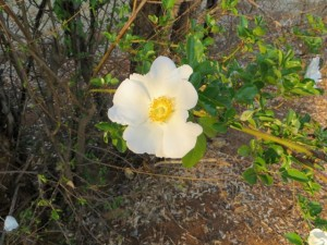 18sept14 - Walk - white flower