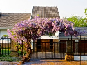 18sept14 - Walk - wisteria