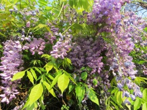 20Sep14 - Walk - Wisteria close up