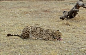 22sep14 - Cheetah eating