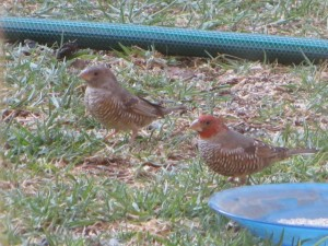 Male and Female red headed finch