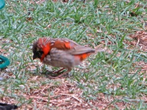 11oct14- red bird