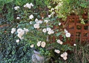 OCt14 - Our white rose bush