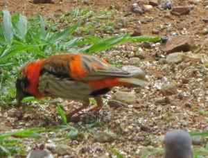 Oct 14 - Trans - Red Bird 2