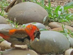 Oct 14 - Trans - Red Bird 3 RUFFLED