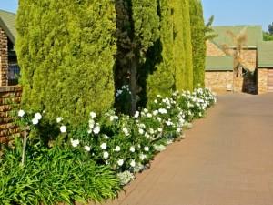 Sept14 - white roses