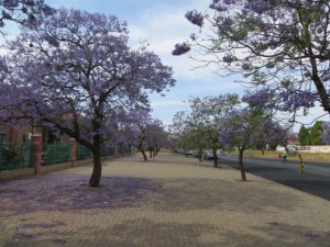 oct14 - Kim - Jacaranda trees 2