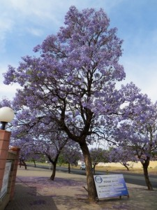 oct14 - Kim - Jacaranda trees