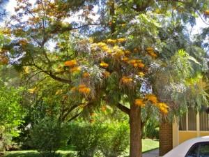 oct14 - golden tree distance