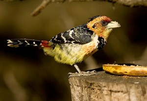 473-Crested-Barbet-WT00475