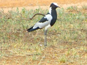 26Jan15 game drive - Blacksmith Plover