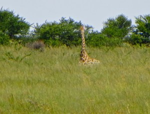 26Jan15 game drive - giraffe resting 2