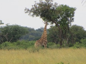 26Jan15 game drive - old giraffe 3