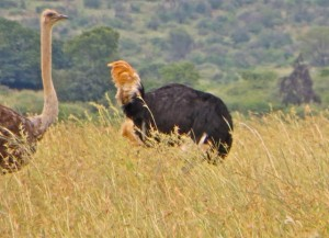 26Jan15 game drive - ostrich tail