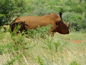 26Jan15 game drive - rhino 3