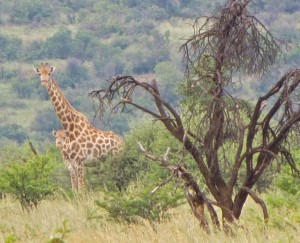 26Jan15 game drive - young giraffe 2