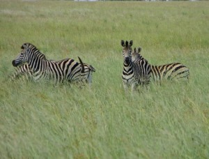 26Jan15 game drive - zebras 2