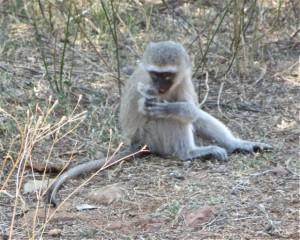 18may15 - drive - Monkey baby