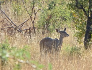 18may15 - drive - Nyala female