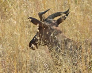18may15 - drive - Tsessebe - fastest antelope