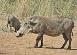 18may15 - drive - Warthogs