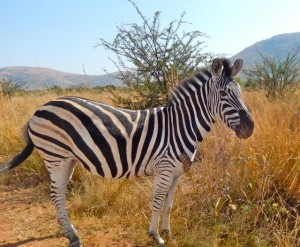 18may15 - drive - Zebra