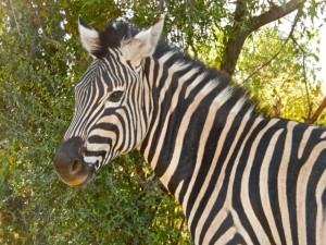 18may15 - drive - Zebra up close