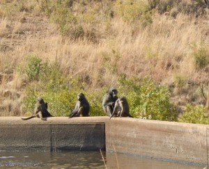 18may15 - drive - chacma baboons