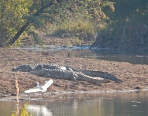 18may15 - drive - croc with bird