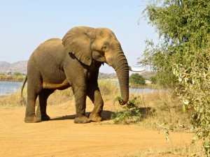 18may15 - drive - elephant eating 2