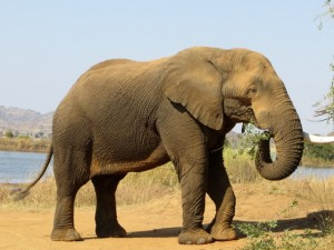 18may15 - drive - elephant eating 3
