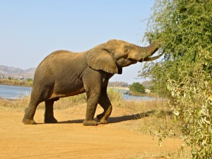 18may15 - drive - elephant eating