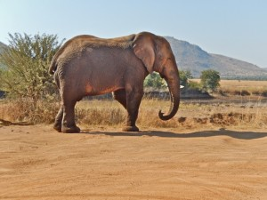 18may15 - drive - elephant first