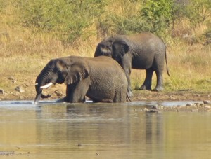18may15 - drive - elephants 2 in water