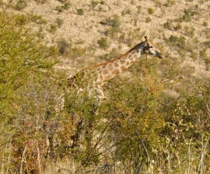 18may15 - drive - giraffe